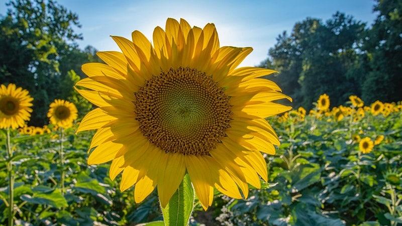 Kata-Kata tentang Bunga - Bunga Matahari