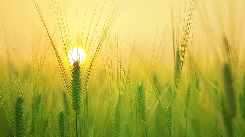 Kata Mutiara Pagi Hari Islami - Ladang Gandum Pagi Hari