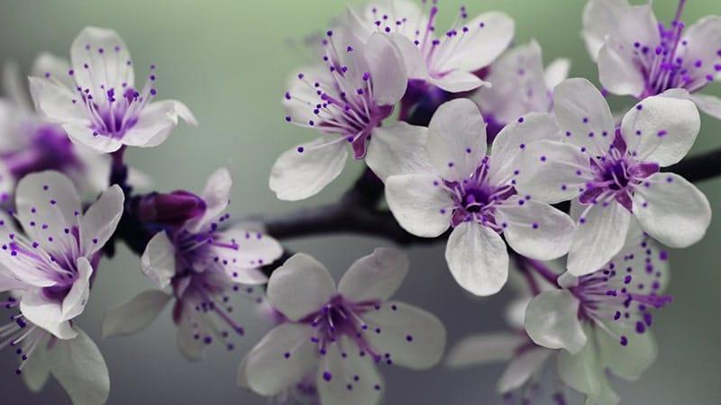 Bunga Putih Ungu