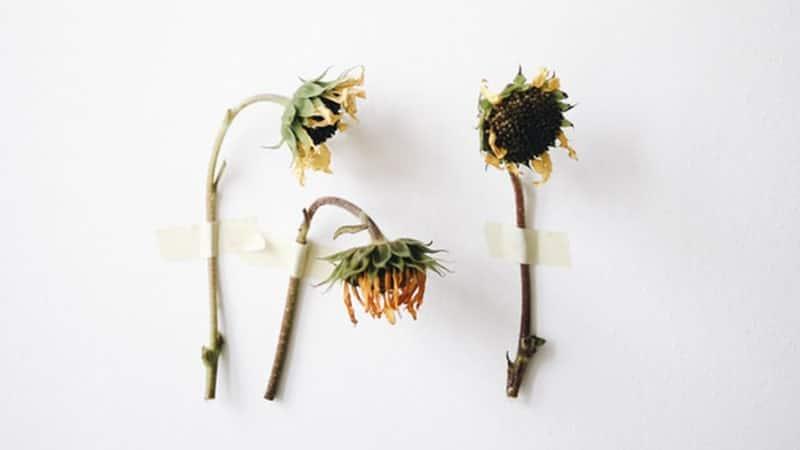 Kata-Kata Penyesalan Cinta - Bunga Matahari Kering
