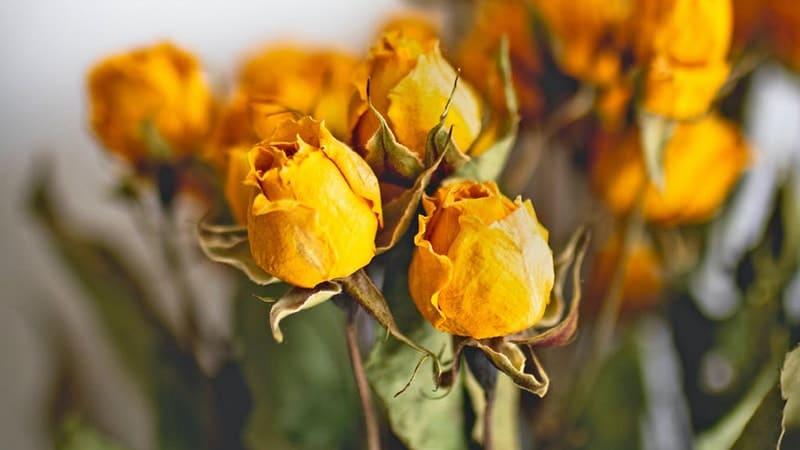 Mawar Kuning Kering