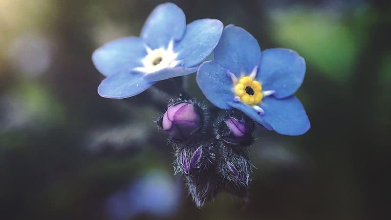 Kata-Kata Pengorbanan Laki-Laki untuk Wanita - Bunga Forget Me Not