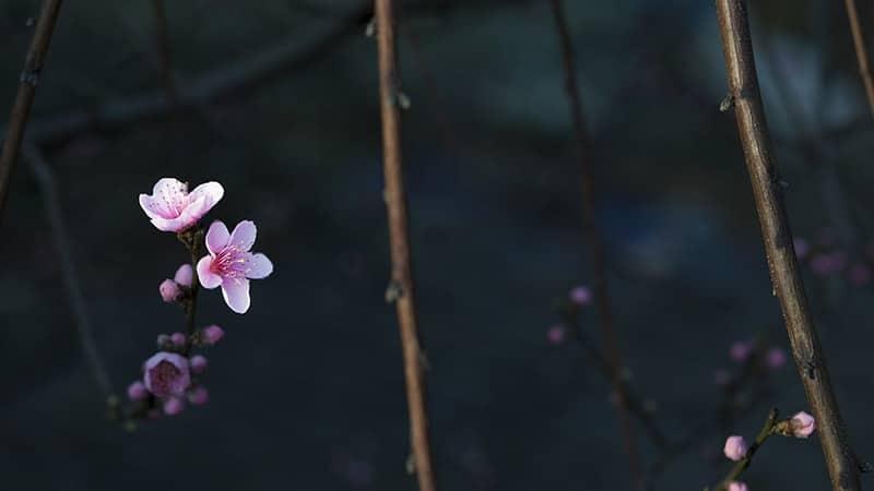 Bunga Pink