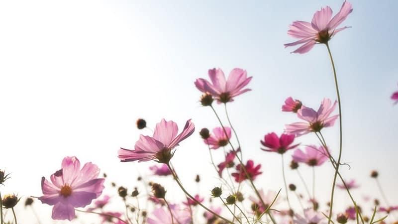 Bunga Pink Cantik