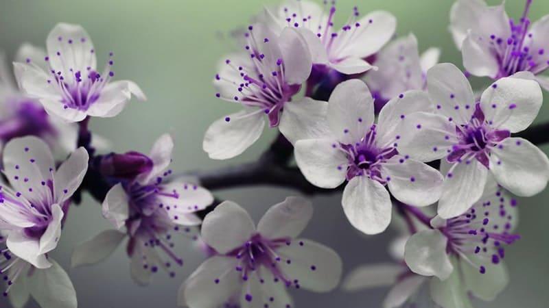 Bunga Ungu Putih