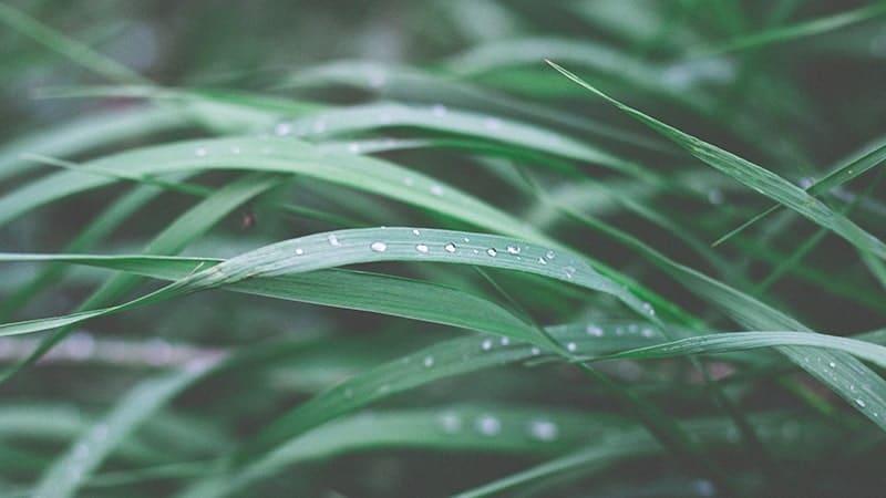 Cerita Legenda Si Pahit Lidah - Rumput Ilalang
