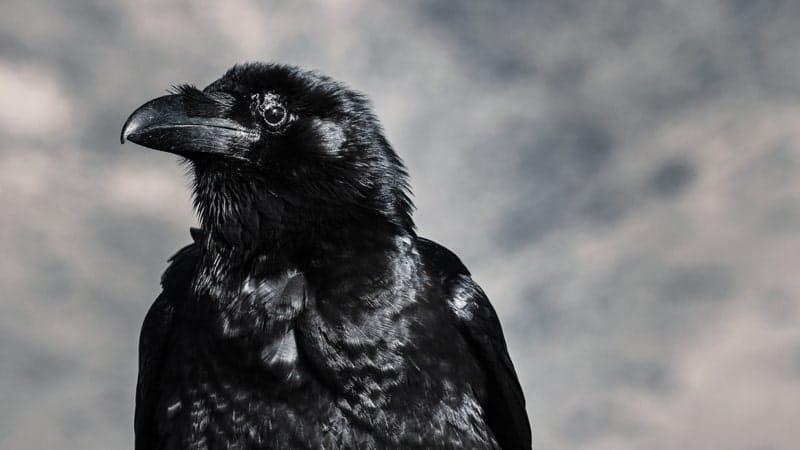 Dongeng Gagak Sang Pembohong - Burung Gagak