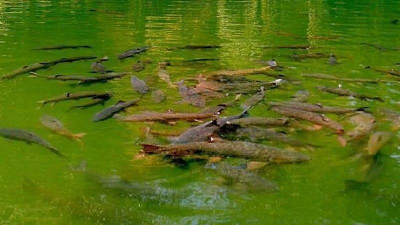 Legenda Ikan Sakti Sungai Janiah - Sekumpulan Ikan