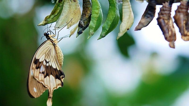 Cerita Fabel Ulat yang Sombong - Kupu-Kupu Keluar dari Kepompong