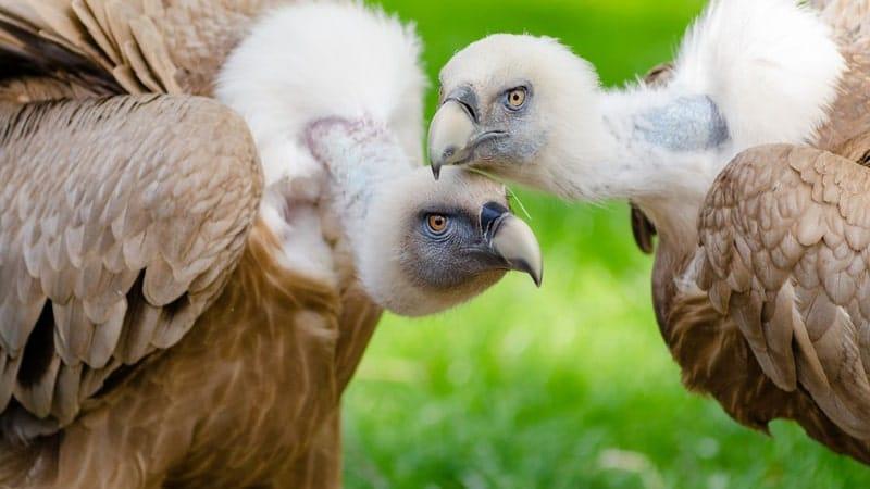 Cerita Rakyat Suri Ikun dan Dua Burung - Dua Burung