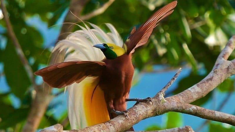 Asal Usul Burung Cendrawasih - Cendrawasih