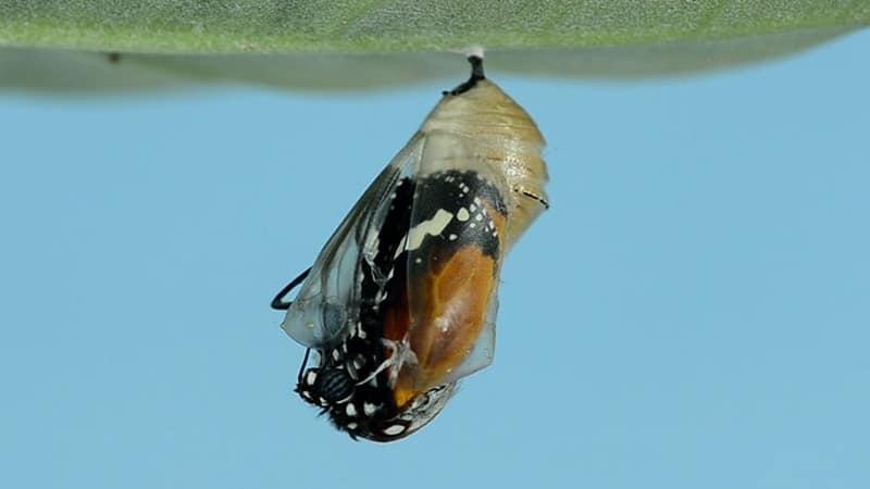 Cerita Semut dan Kepompong