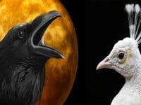 Cerita Burung Gagak dan Burung Merak - Gagak dan Merak
