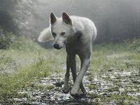 Cerita Fabel Serigala yang Baik Hati - Serigala Berjalan Limbung