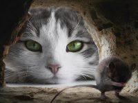 Cerita Fabel Kucing dan Tikus - Kucing dan Tikus