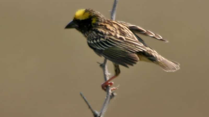 Cerita Burung Tempua dan Burung Puyuh - Burung Tempua