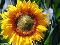 Cerita Legenda Bunga Matahari - Mahkota Bunga Matahari