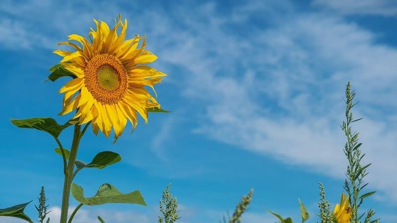 Dongeng tentang Bunga Matahari - Sun Flower