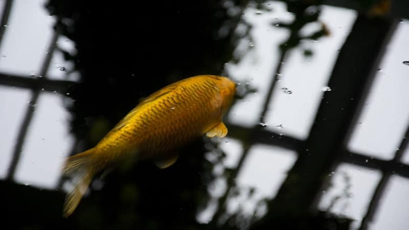Ikan Mas Ajaib dan Pohon Emas - Ikan Mas
