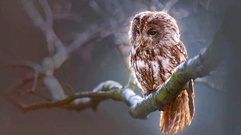 Fabel Burung Hantu & Belalang - Burung Hantu