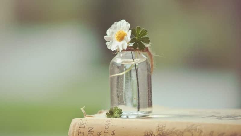 Bunga Putih Daisy