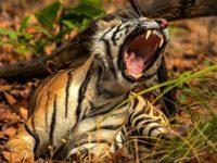 Kata-Kata Mulutmu Harimaumu - Harimau Menguap