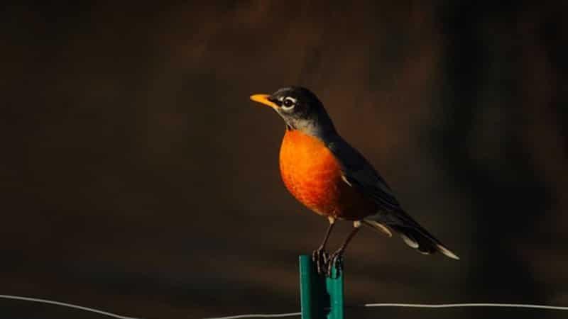 Cerita Fabel Buaya dan Burung Penyanyi - Burung Penyanyi