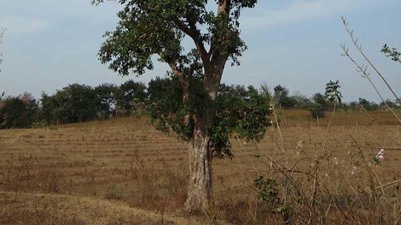 Hikayat Batu dan Pohon Ara - Pohon Ara