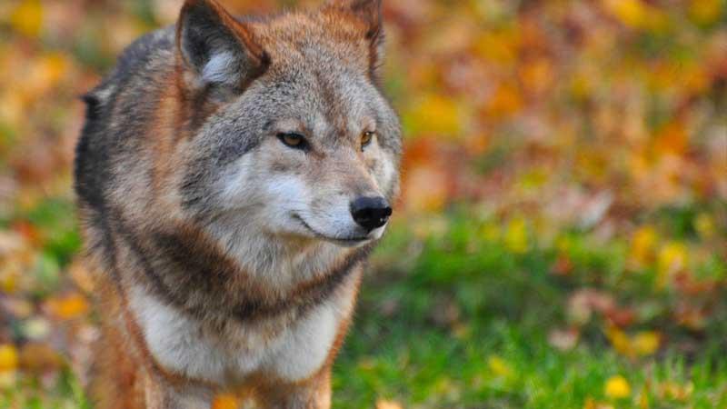 Cerita Fabel Cici dan Serigala - Serigala