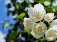 Cerita Bunga Melati yang Baik Hati - Gambar Utama