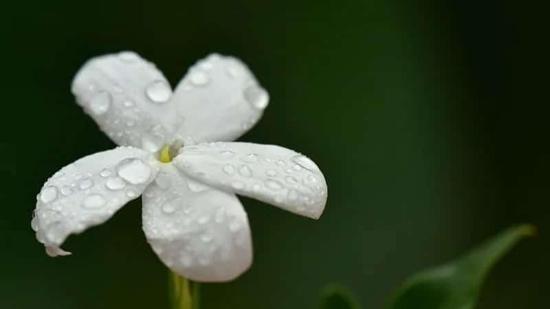 Cerita Bunga Melati yang Baik hati - Setangkai Bunga