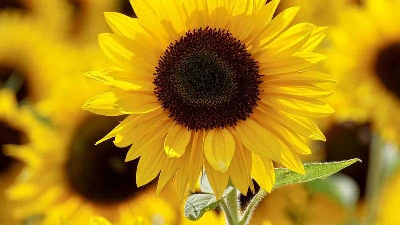 Cerita Bunga Matahari dan Kupu-Kupu - Bunga Matahari