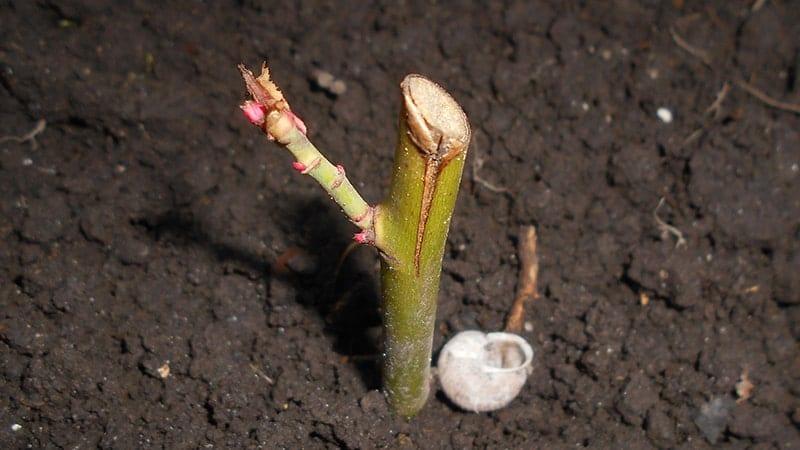 Dongeng Si Janda dan Ketela Pohon - Sistem Stek