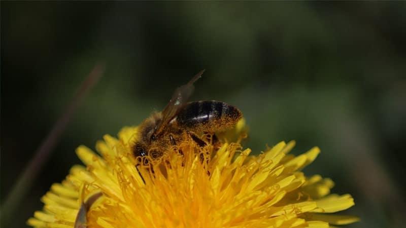 Dongeng Beruang dan Lebah - Bunga dan Lebah