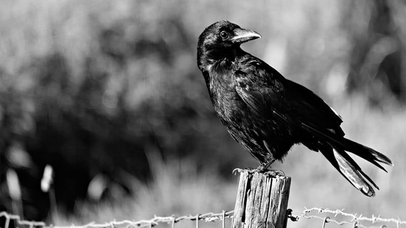 Cerita Dongeng Burung Gagak dan Sebuah - Burung Gagak
