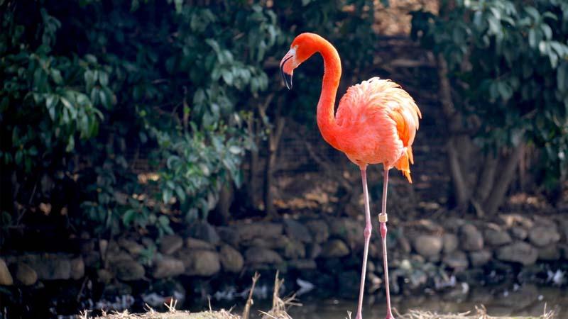Dongeng Burung Bangau yang Angkuh - Flamingo
