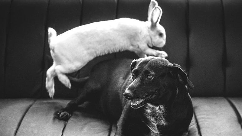Dongeng Kelinci dan Anjing Petani - Anjing dan Kelinci