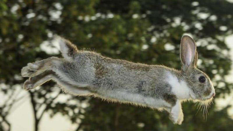 Dongeng Kelinci dan Beruang - Kelinci Melompat