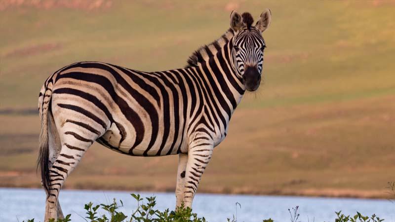 Dongeng Singa dan Zebra - Zebra