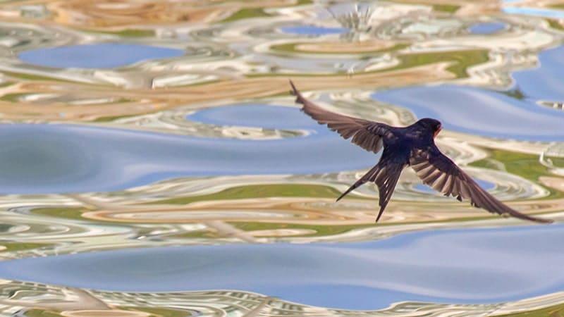 Burung Walet Terbang