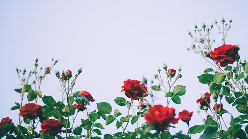 KIsah Bunga Mawar dan Pohon Bambu - Mawar